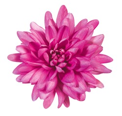 pink dahlia blossom on white background