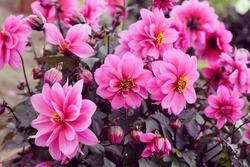 Pink dahlia 'Dreamy Kiss'  in flower