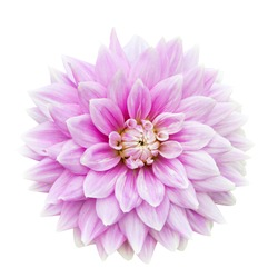 Pink Dahlia flower isolated on a white background.