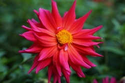 pink dahlia flower on green garden