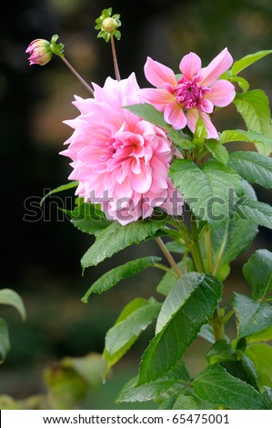 Pink dahlia isolated with selective focus. Raindrops on green leaves and buds, a very large and beautiful flower.