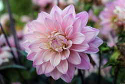 Pink dahlia variety Melody Harmony flower with a background of blurred leaves and flowers.