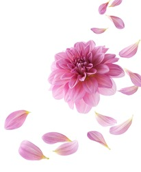 pink dahlia with its petals flying isolated on white