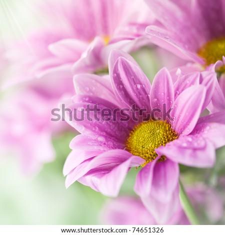 Pink daisies closeup