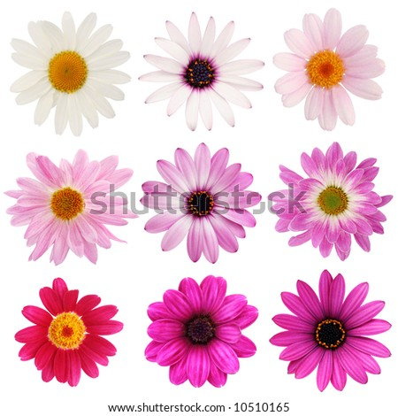 Pink daisy collection - stock photo