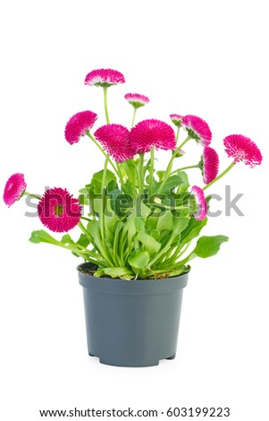 Pink daisy flowers in black pot isolated on white background #603199223