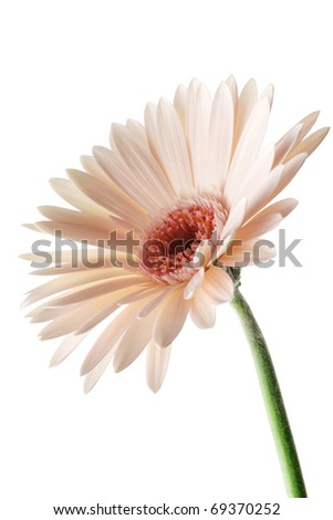 Pink daisy gerbera isolated on white background