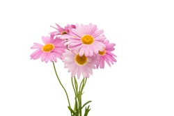 pink daisy isolated on a white background