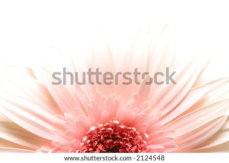 pink daisy macro in highkey over white, limited depth of field