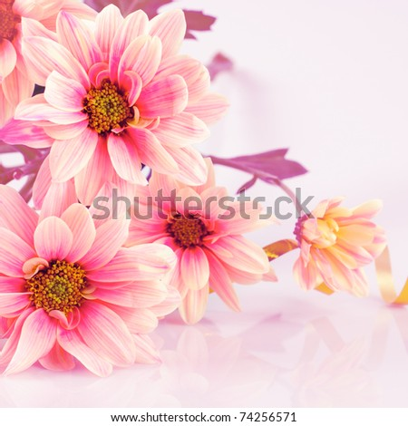 Pink daisy, old stylized. Still life on white