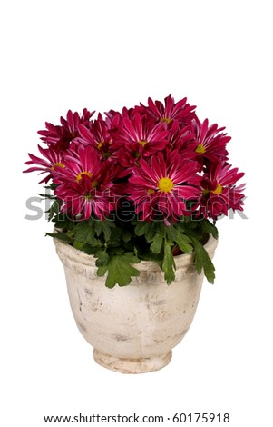 Pink daisy plant in white pot