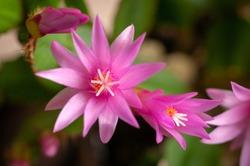Pink Decembrist (Schlumbergera) flower. Macro. Selective focus