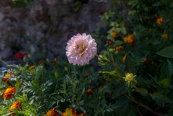 Pink, decorative, tender dahlia grows on a flower bed in the garden on an autumn sunny day