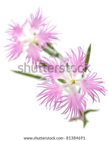 pink , dianthus superbus on white background
