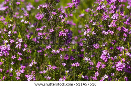 Free photos tiny pink coleonoma flowers confetti bush avopix pink diosma coleonema a genus of flowering plants in the family rutaceae with star shaped flowers mightylinksfo