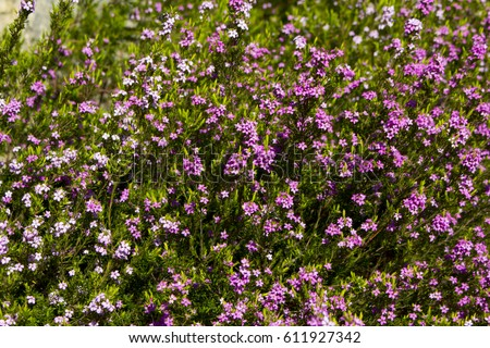 Newest free tiny pink coleonoma flowers confetti bush photos pink diosma coleonema a genus of flowering plants in the family rutaceae with star shaped flowers mightylinksfo Choice Image