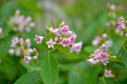 Pink Dogbane Flowers, Bluebell Canyon