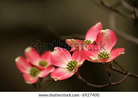 pink Dogwood blooms with shallow depth of field and space for text.