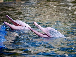 Pink Dolphins swim in pairs.