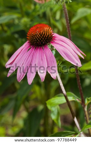 Pink Echinacea flower on green nature background