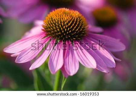 Pink Echinacea in the garden