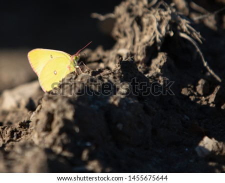 Pink-edged Sulphur Colias interior Butterfly Resting on Dirt