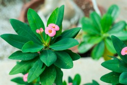 Pink euphorbia flower. Looks beautiful and pleasant christ thorn inflorescence. Flowering of euphorbiaceae, beautiful pink flourish and green leaves.