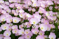 Pink Evening Primrose flowers (Oenothera speciosa) close up