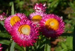 pink everlasting flowers - straw flowers are blooming show the yellow pollen