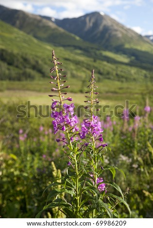 Pink Fireweed wildflowers, mountains and green meadows on Alaska's Kenai Peninsula