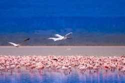Pink flamingo. Africa. Birds of Africa.