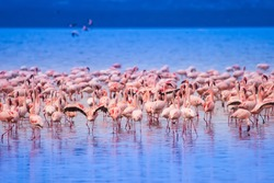 Pink flamingo. Flock of flamingos on the lake. Africa. Birds of Africa.