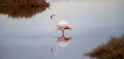 pink flamingo looks for food in the Molentargius pond in Cagliari, southern Sardinia