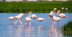 pink flamingo looks for food in the pond in Oristano, southern Sardinia