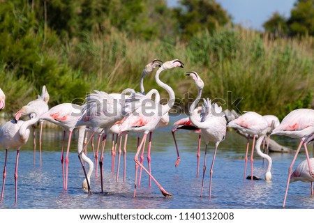 pink flamingo of the Camargue, France
