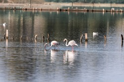 Pink Flamingo on the salt lake in an early winter morning, Atlit, Israel.