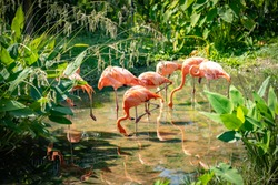 Pink Flamingoes animals zoo concept, Flamingos flock sitting on river in nature. They type of wading bird family Phoenicopteridae. The long-legged and  stand on one leg.