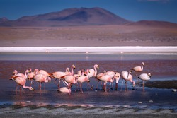 Pink flamingoes in lagoon Colorada, Altiplano, Bolivia