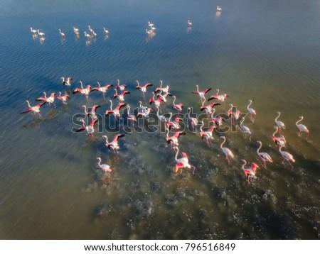 Pink Flamingos at the salt lake of Kos island, Greece. #796516849
