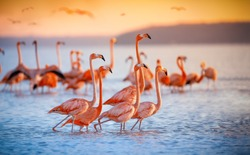 pink flamingos during a brilliant sunset