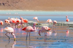 Pink flamingos feeding in the salt water of