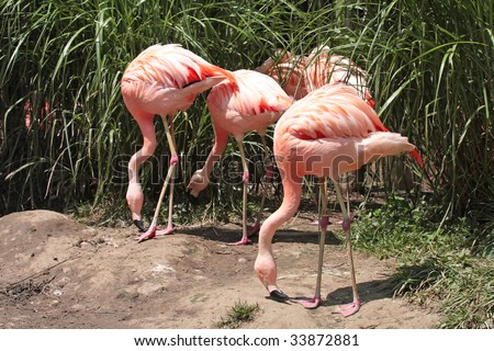 Pink Flamingos with there heads down at a zoo