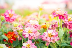 pink floral in garden , flower zinnia elegant , color nature background , colorful flowers