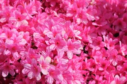 pink flower azalea rhododendron group bright cerise pink flowers background crops (Rhododendron schlippenbachii) azalea spider in centre stock photo, stock, photograph, image, picture