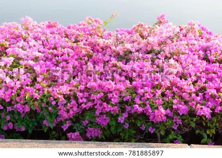 Pink Flower Bush Beside The Pool Ez Canvas