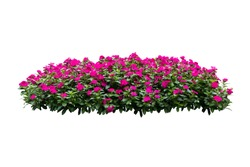 pink flower bush tree isolated on white background  with clipping path
