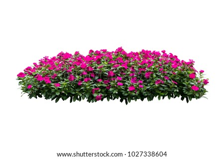 pink flower bush tree isolated on white background  with clipping path #1027338604