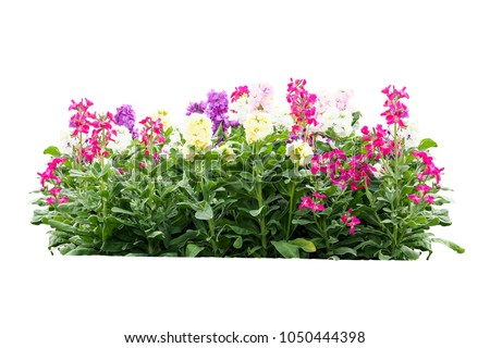 pink flower bush tree isolated tropical plant on white background with clipping path