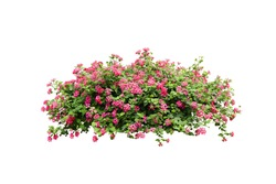 pink flower bush tree isolated tropical plant  with clipping path