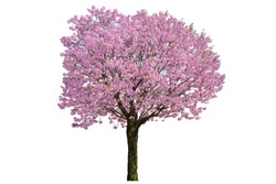 Pink flower, Cherry blossoms tree isolated on white background.
